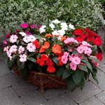 Flittig Hans / Balsamin  30 cm høj sommerblomst med smukke blomster i et utal af smukke klare farver. Blomstrer fra april til oktober. Placeres lyst og på en lun vokseplads. Vandes og gødes rigeligt. Velegnet i krukker, ampler, altankasser, i udestuer og udplantet i haven.