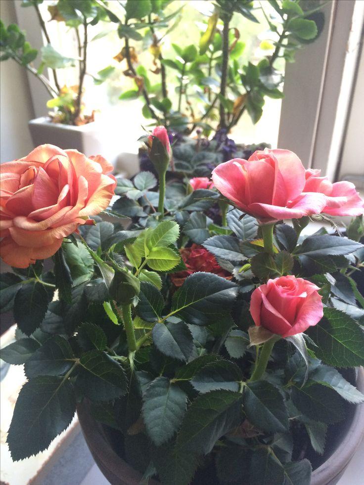 Sain äidiltä ruusuja ❤️