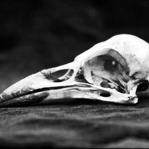A farewell to crow.  #crows #corvus #death #bones #birds