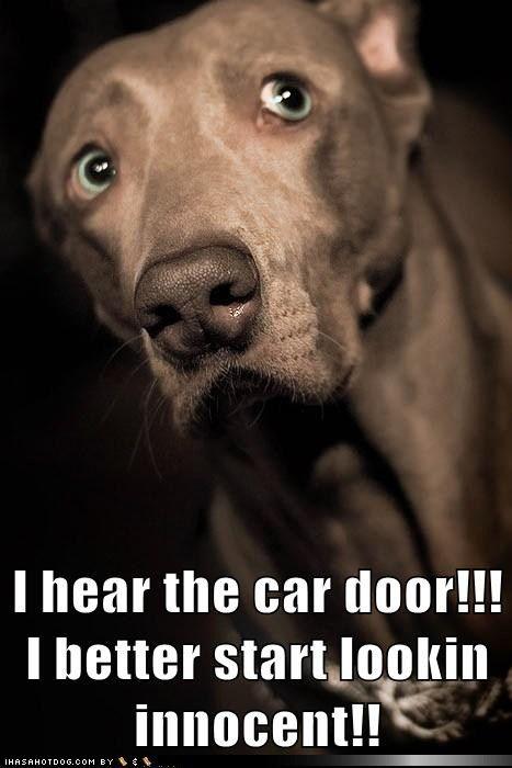 funny dog pictures - I hear the car door!!! I better start lookin innocent!!
