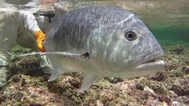 Top 10 fly fishing videos...  SPECIES: SEYCHELLES SLAM    This video covers Poivre Island, Remiere Reef, and the African Banks in search of Indopacific Permit, Giant Trevally, and other exotics.