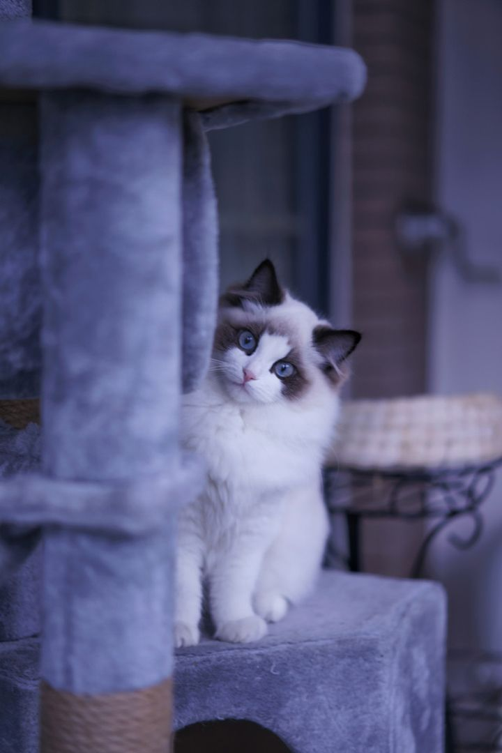 Where To Find Ragdoll Kittens For Sale In 2020 Ragdoll Kittens For Sale