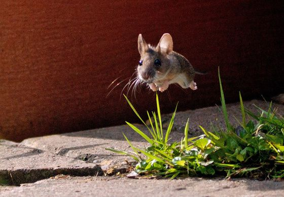 Ever Seen a Mouse Fly? It's like a house fly, but a whole lot cuter!