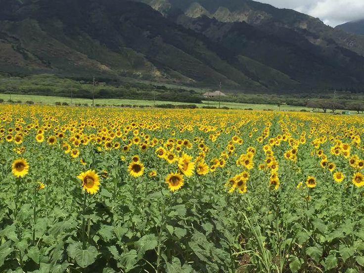 Sunflowers happening on Maui now. Maui Real Estate Guru #MauiRealtor #PacificBioDiesel #Sustainable #SugarCaneGone
