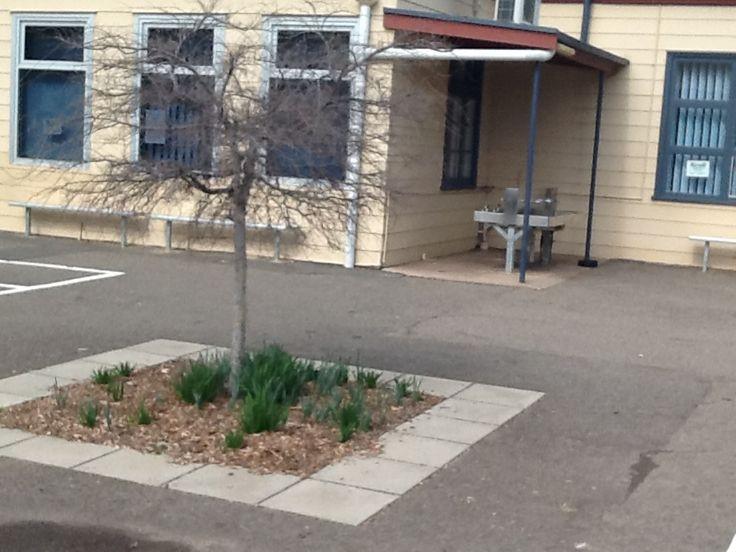school with daffodil plants and drink taps #lockleysprimaryschool