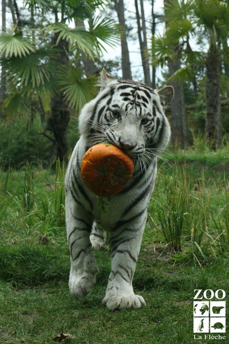 Soha et sa citrouille zoo de la fl che pinterest zoos for Chambre zoo de la fleche