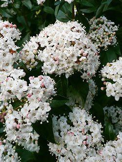 Viburnum tinus 'Eve Price' full bloom