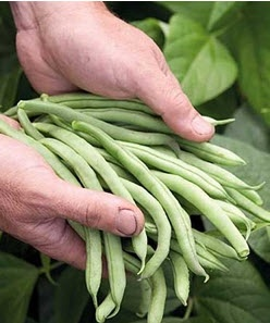 CHICKEN PARCELS AND #ITALIAN DWARF BEANS – A 'BIG' HIT!