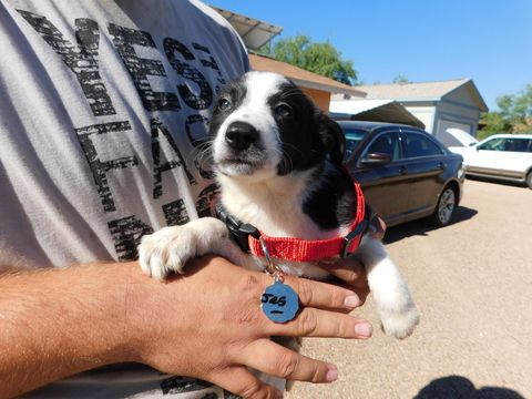 Litter of 8 Border Collie puppies for sale in GREEN VALLEY, AZ. ADN-31351 on PuppyFinder.com Gender: Female. Age: 7 Weeks Old