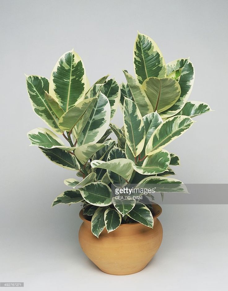 indian rubber fig or rubber plant ficus elastica teneke detail of