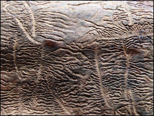 traces insectes xylophages - Recherche Google