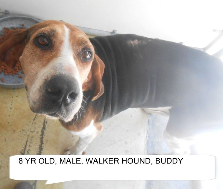 ***SUPER SUPER URGENT!!!*** - PLEASE SAVE BUDDY!! - EU DATE: 8/20/2015 -- Buddy Breed:Treeing Walker Coonhound Age: Senior Gender: Male Size: Medium Special needs: hasShots, Location: Elizabethtown, NC  Read more at http://www.dogsindanger.com/dog/1439570418755#uvM6Djv104SHvOZW.99 - About Buddy: Buddy is a walker hound who is 8 yrs old and would be a good friend. The shelter is FULL, Please don't leave him there. . Call Silvia and Debbie now,,,,,Silvia is 910-876-0539 and Debbie is 339-8