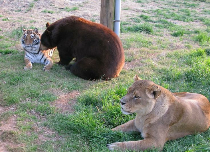 Best BLT Images On Pinterest Bear Noah Ark And Bears - Lion tiger bear best friends