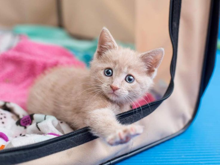 Best Cat Stories News Images On Pinterest Kitten Cute - Kitten born with dwarfism is half the cat but twice as cute