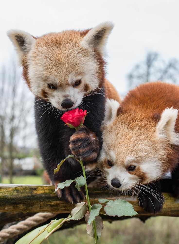 red pandas Which family the classification of red pandas has been hotly debated they have previously been classed as a bear, a cat and a racoon, but are now in their own family.