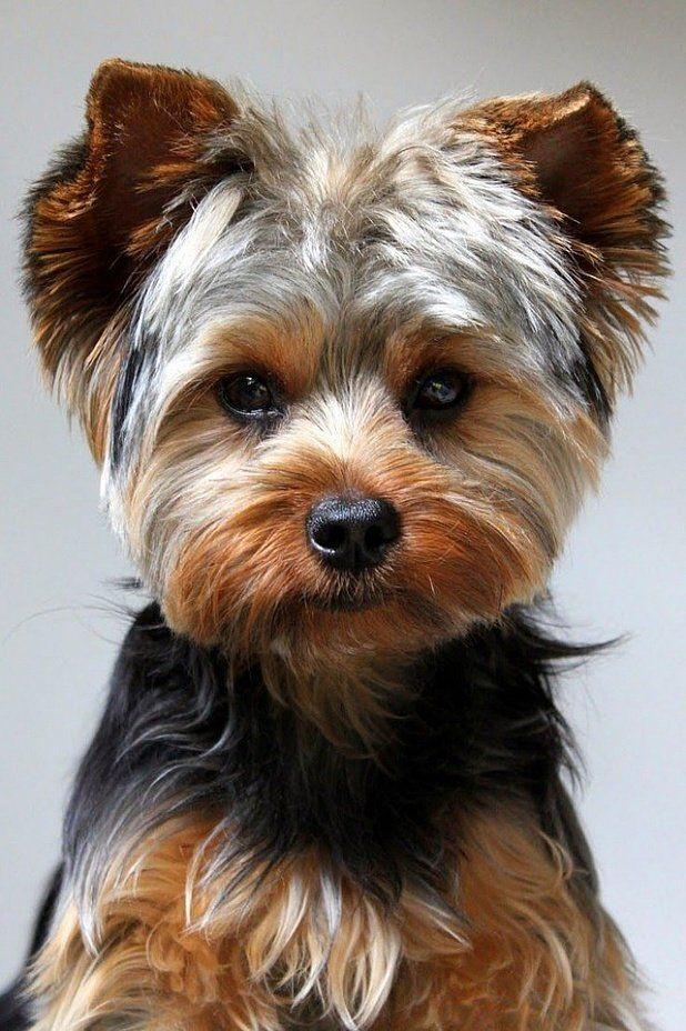 картинки с собаками йорки после