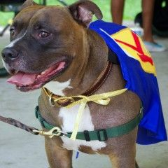 Kane Chief Ambass-a-Bull Kane represents Misunderstood Dogs by visiting with children,