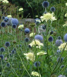:: Echinops bannaticus 'Taplow Blue' - Kugeldistel :: Mit Stauden gestalten :: Blütenformen :: Kugelblüten - Pflanzenversand Gaissmayer