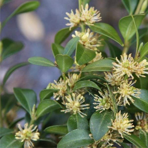 the 82 best images about plants on pinterest jasmine. Black Bedroom Furniture Sets. Home Design Ideas