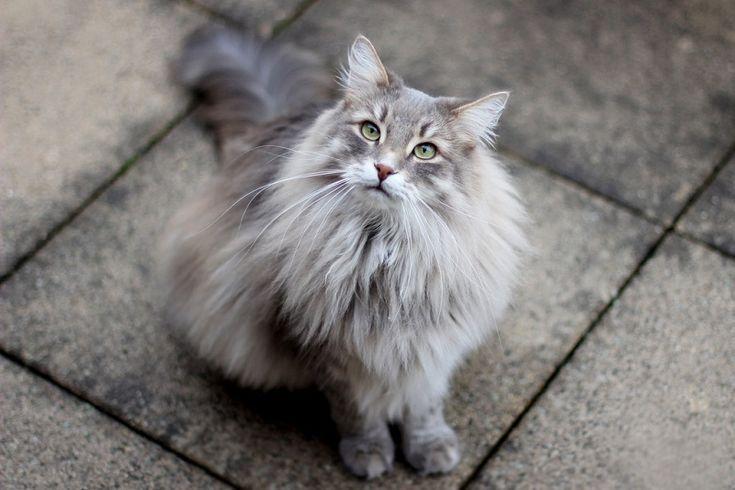 Сибирские кошки (описание, уход). Фото | Сибирские кошки ...