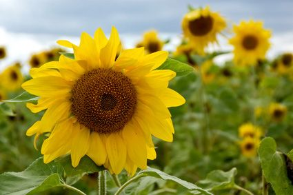 """Sunflowers to the Rescue! The sunflower is one of many plants that are now known to aid in """"phytoremediation,"""" a process that employs various types of plants to remove, transfer, stabilize, and/or destroy contaminants in the our soil, water and air."""