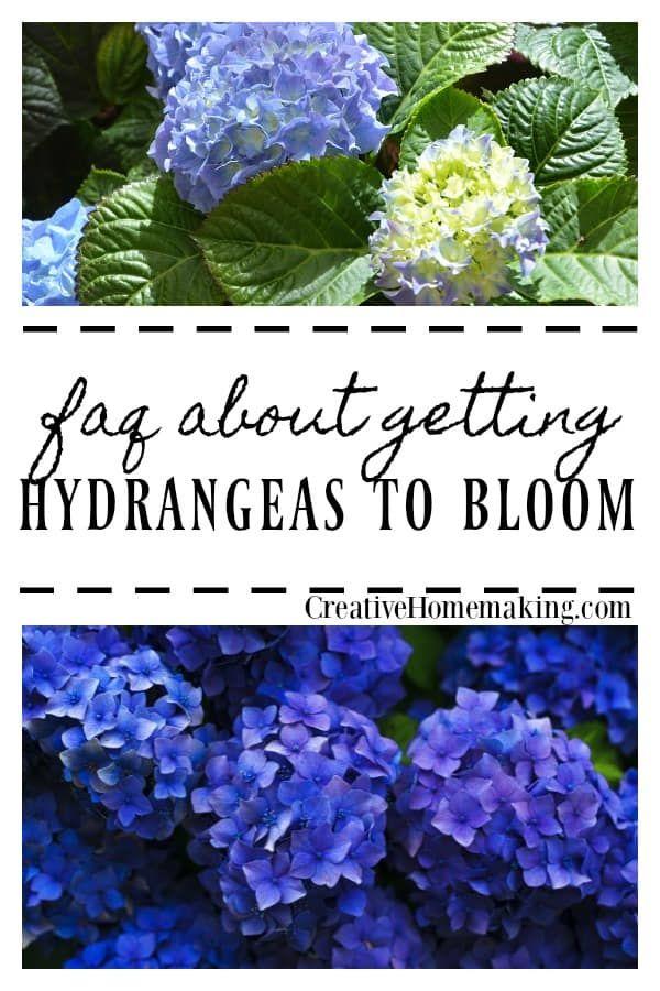 Why Doesn T My Hydrangea Bloom Hydrangea Bloom Beautiful Flowers Garden When Do Hydrangeas Bloom