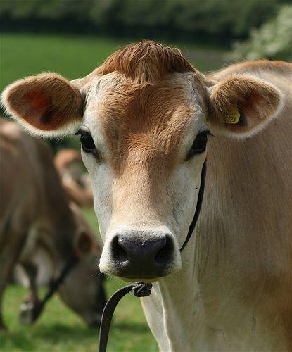 I love Jersey cows, they are so pretty :)