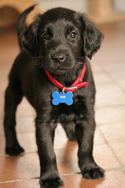 : Cute Puppies, Puppy Love, Black Dogs, Pet, Flats Coats Retrievers, Black Lab Puppies, Black Labs Puppys, Labrador Retrievers, Animal