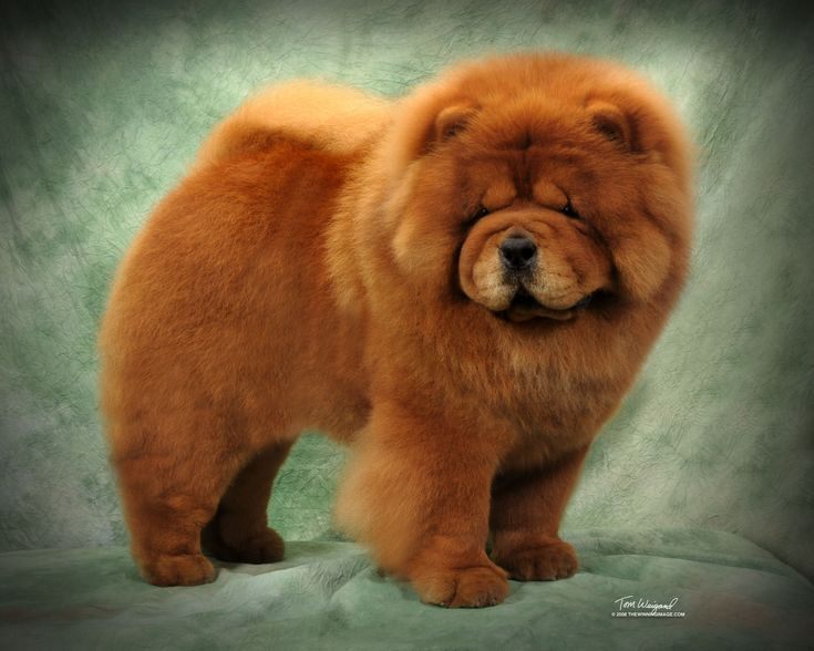 Chow Chow Puppies Chow Chow Dogs Chow Chow Chow Puppies For Sale