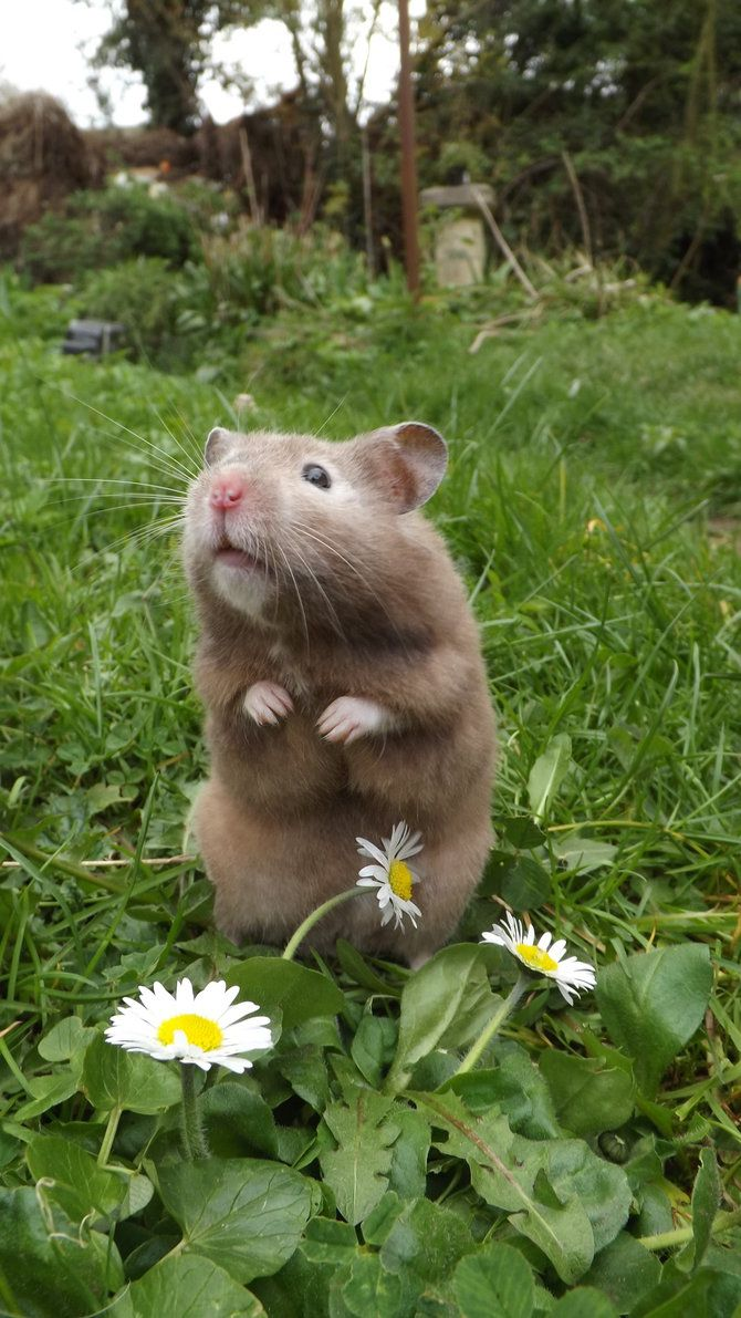 16 Cute Animal Pictures for Your Day - Hamsters Cute Rats, Cute Hamsters, Cute Funny Animals, Cute Baby Animals, Animals And Pets, Small Animals, Cute Creatures, Beautiful Creatures, Animals Beautiful