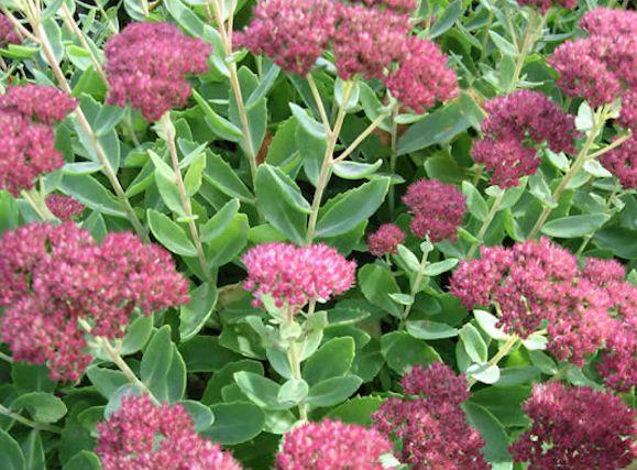 Sedum Succulent Plants From the