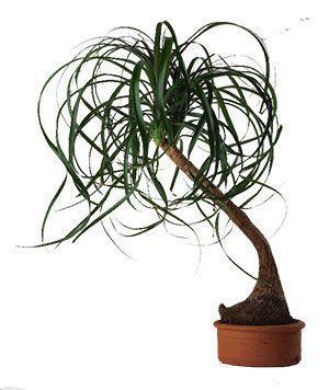(Beaucarnea Recurvata). Conocido como pie de elefante, pata de elefante, especie muy longeva planta de interior. Cuidados, riego, sustrato.