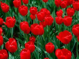A field of Tulips...gotta love them too