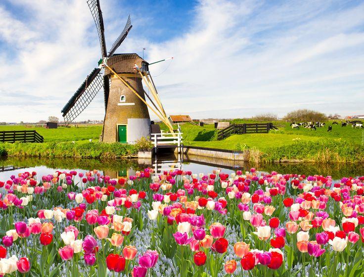 Wiatrak, Rzeka, Tulipany, Wiosna