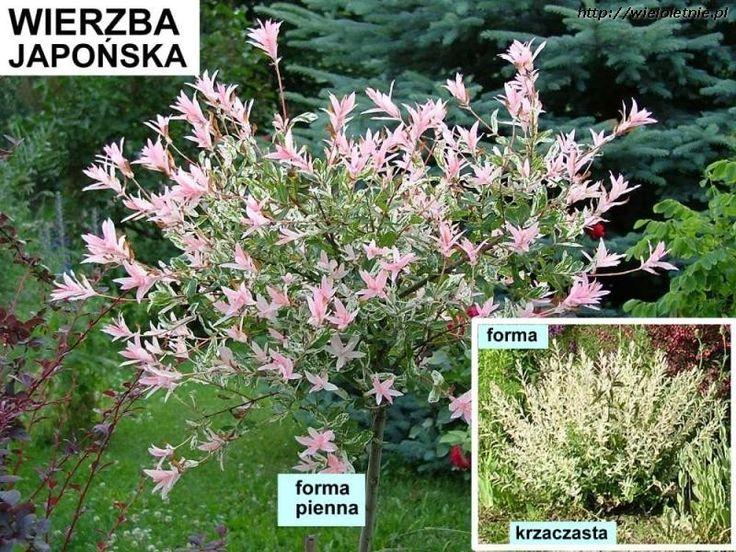 Wierzba japońska (Salix integra (Hakuro-nishiki)) - wieloletnie.pl
