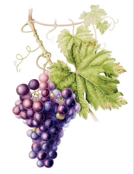 Grapes (Annie Patterson)