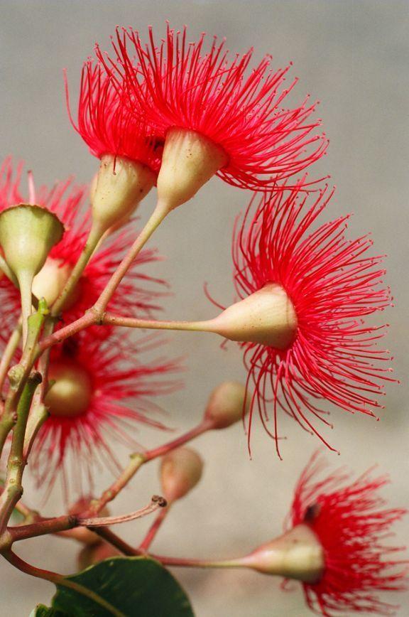 West Australian Gum Tree Blossom.