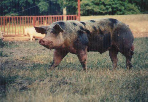 http://www.schweinefreunde.de/schweine/schweine-rassen/pietrain.htm