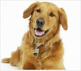 Home Remedies For Dog Ear Infections Pet Sitting Pinterest