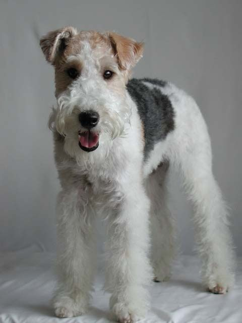 wire fox terrier <3 I see these cute puppies around in Sweden. Too bad I don't see them in the states...