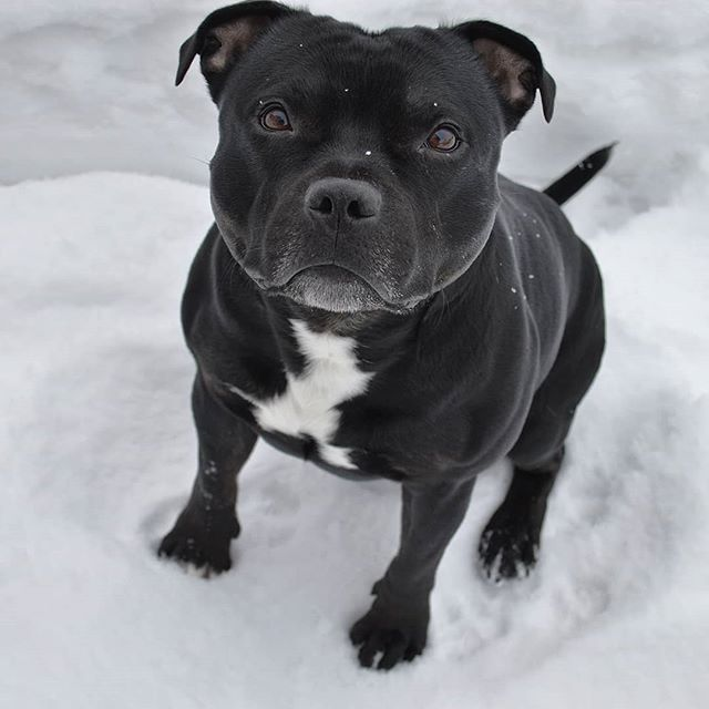 Reposted from @_hugothestaffy_ Use the hyperlink in our Bio  @Staffordshire.Bull.Terrier  to pick up your  #pawesome   Hoodies and T-Shirts  now! We have international delivery!  To be featured tag #StaffordshireBullTerrier_feature in your pics  Douple tap and tag your Staffordshire Bull Terrier loving friends below! Be sure you follow for awesome pics! #pitbulllove #pitbullnation #pitbullsofinstagram #staffordshirebullterrier #staffy #bullymix #pitmix#doglove #doglover #doglovers #dogsofig…