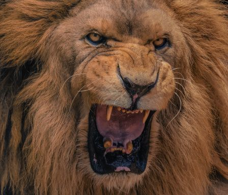 roaring Lion | FunMozar – Angry Roaring Lions | photo ...