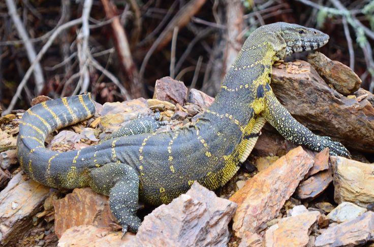 A Water Monitor Lizard seen on the banks of the Kariega River at Sibuya Game Reserve Eastern Cape, South Africa www.sibuya.co.za