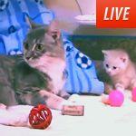 Animal Planet's Too Cute Kitten Cam. #animalplanet #kittens