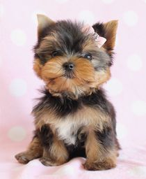 Beautiful Yorkie Puppy by teacupspuppies.com