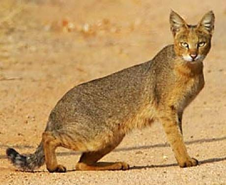 The jungle cat isn't really found in any jungles but is found in either woodland or open country from sea level to elevations of 2,400 meters. It is a capable tree climber. The head & body length is around 20-30 inches (50 to 75 cm) & the tail length is about 10-11 inches (25 to 29 cm). It weighs 8.8-35 lbs (4 to 16 kg). It has been noted that the legs are proportionally the longest of any cat species in Southeast Asia & are helpful in running down prey. It has longish ears.