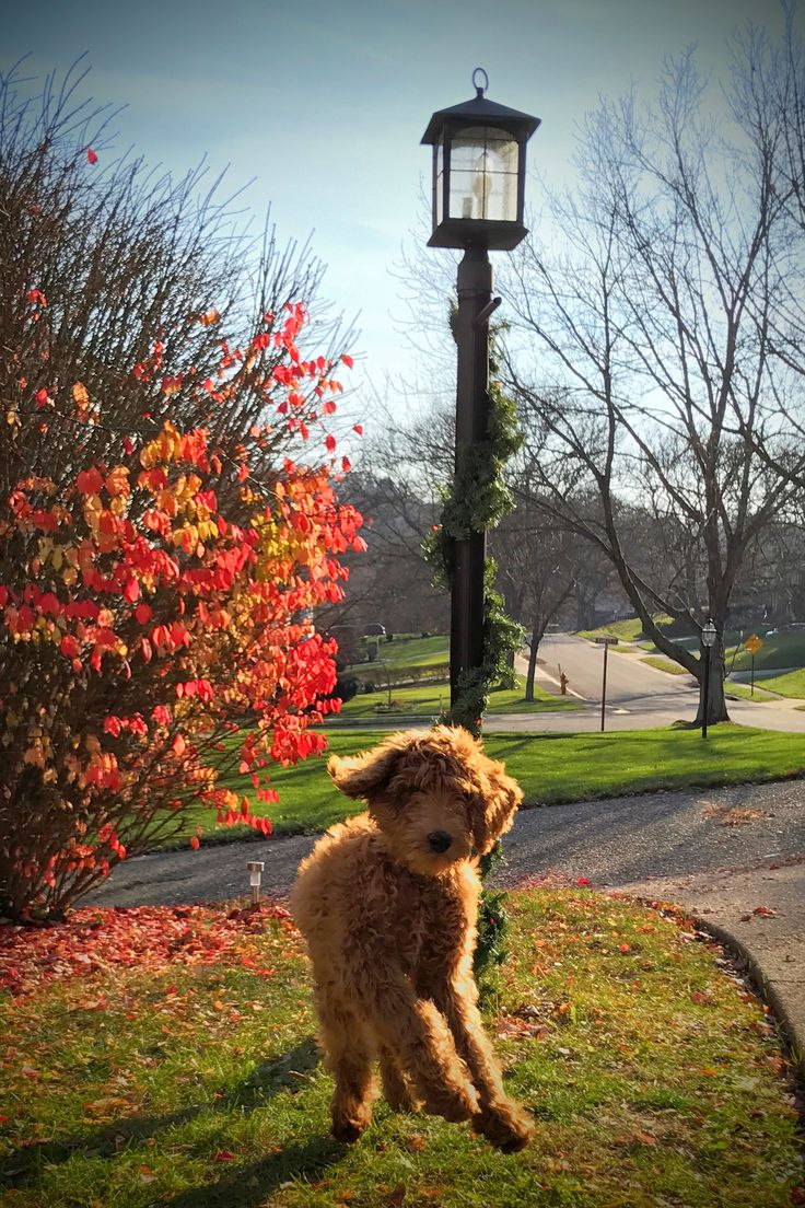 Red Standard Goldendoodle Puppy