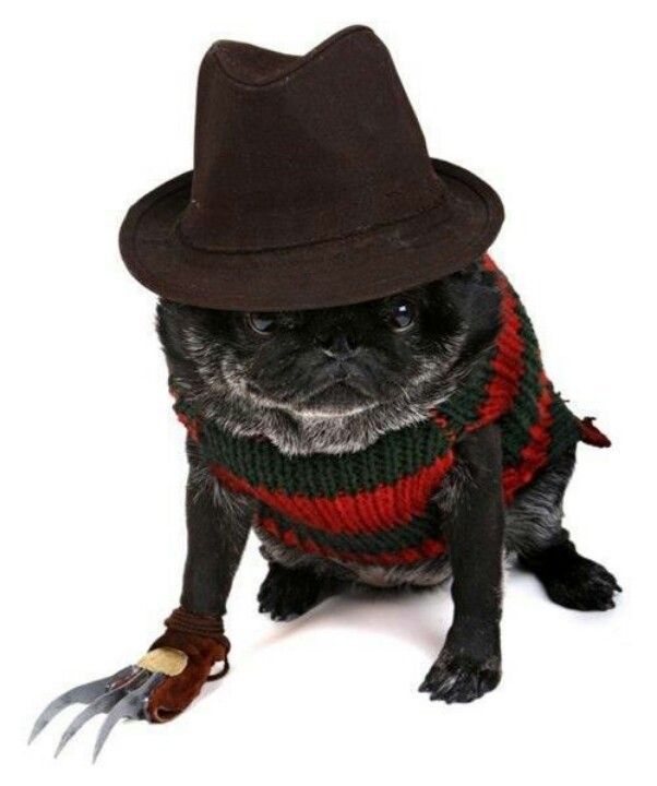 17 Best Images About Pug Costume On Pinterest Costumes