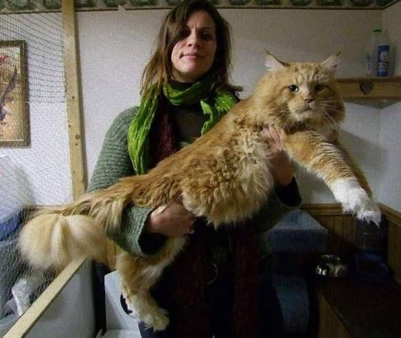 デカいわ ヤマネコかよ イエネコの巨大種 メインクーン と飼い主たちの比較画像 カラパイア 猫 メインクーン メインクーン 子猫