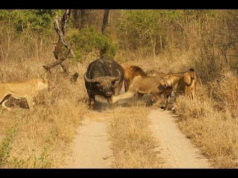 Lions Documentary 2015 | The Outlaw Lions Carrion Thieves Special Nation.